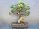 Juniperus chinensis 'Pfiteriana'
