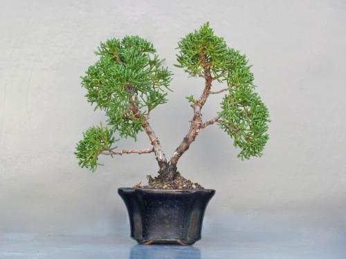 Juniperus x-media 'Shimpaku'