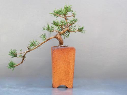 Pinus sylvestris beauvronensis