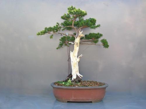 Taxus cuspidata