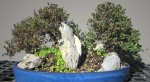 Spirea japonica alpina