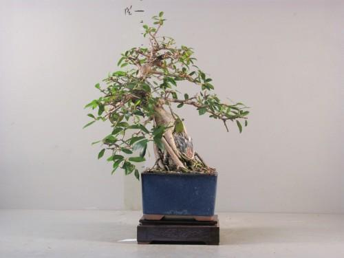 Ficus burtt-daveyii